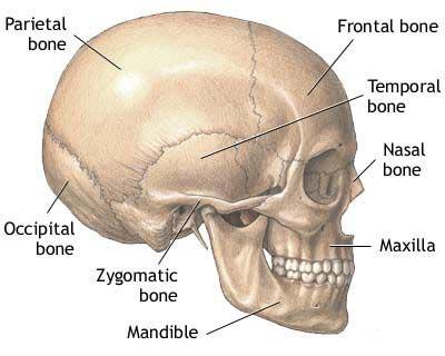 Skull thickness.