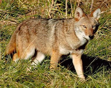 Hunting the elusive coyote as an alternative to deer