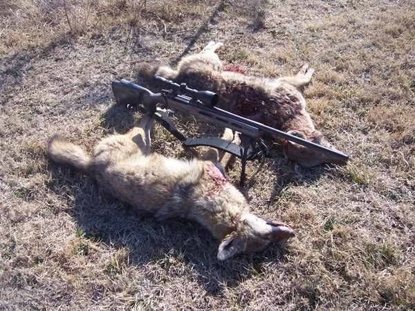 Ammo for hunting coyotes can be inexpensive and comparable to deer hunting