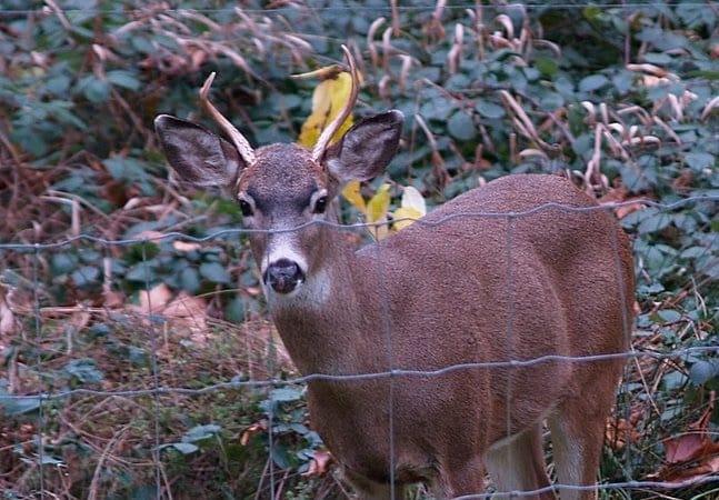 Hunting small deer.