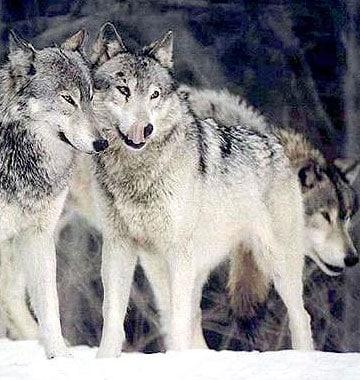 wolf_snow1