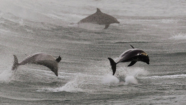 military-dolphins-3