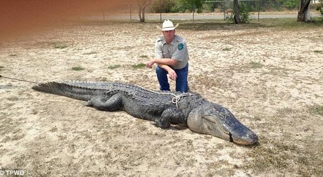 large alligator hunt trophy