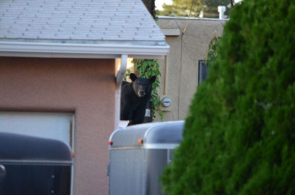 The little fellas are just out looking for some grub. (Photo credit: ABC, Albuquerque)
