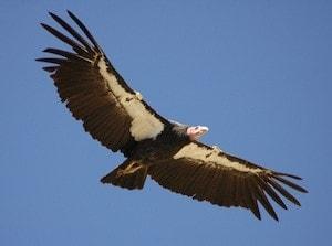 The California condor, an endangered bird.