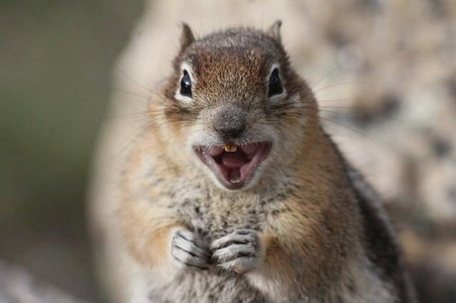 Crazy Squirrel (Callospermophilus lateralis)