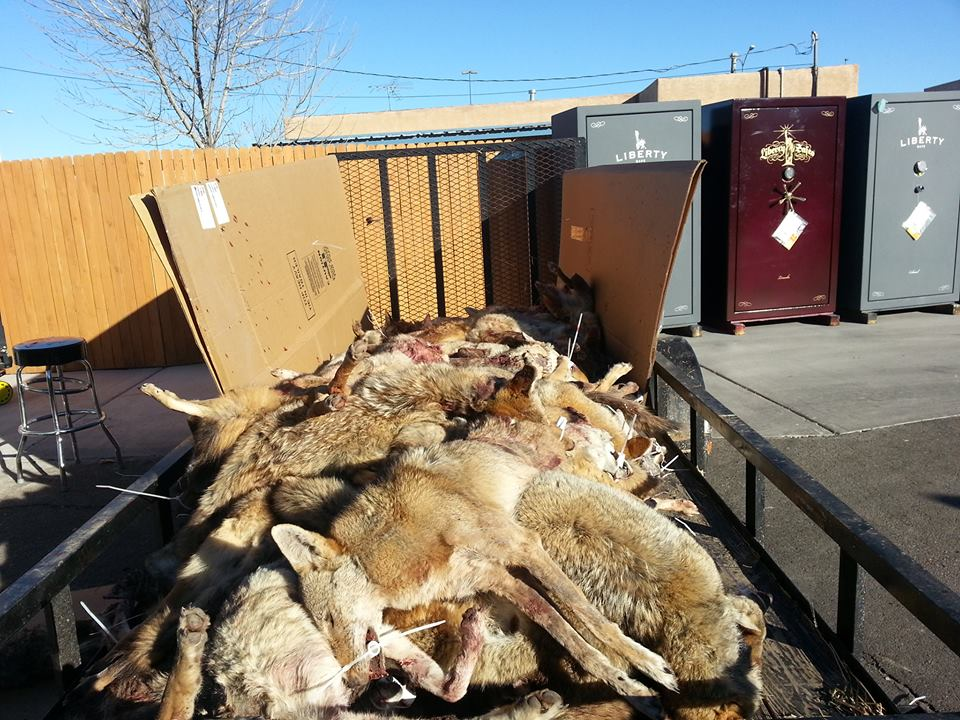 Wolves taken at last year's Great Coyote Hunt event. (Photo: Larry's Gun Shop)