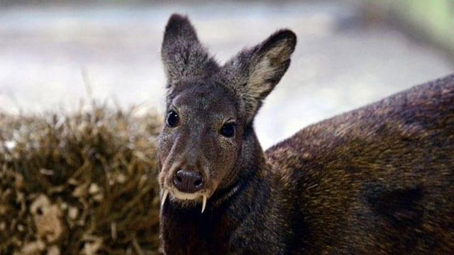 musk-deer