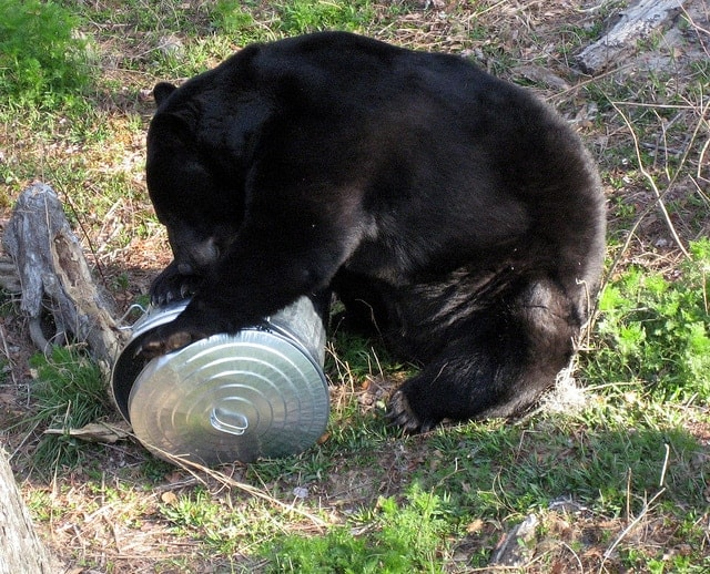 Hair-raising incidents of Florida's increasing black bear population encountering humans have state conservation officials planning a season on the animals this fall. (Photo: Florida Wildlife Commission)