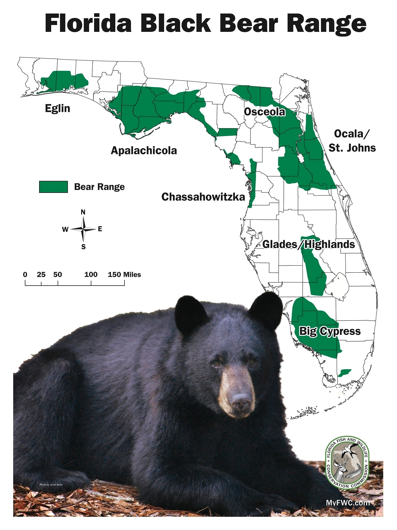 The Florida Wildlife Commission estimates that over 3,000 black bears are now roaming the state, leaving the prospect of an open season for the first time this century a valid prospect. (Photo: FWC)