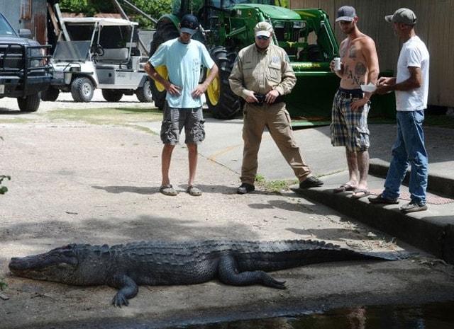 Alligator killed in Texas