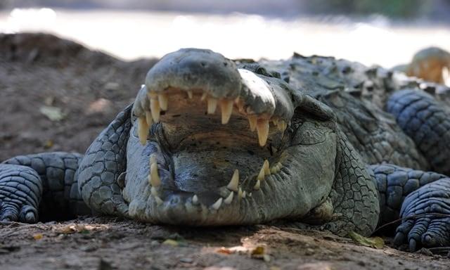 crocodile prison guards