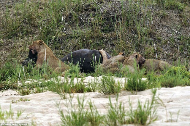 Lion stabbed by water buffalo's horn during hunt - Guns com
