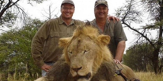 The 'Cecil effect' could lead to culling of 200 surplus lions
