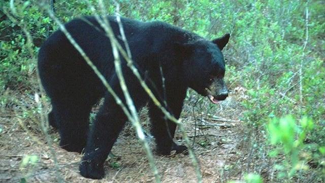 Florida pumps the brakes on bear season after outcry