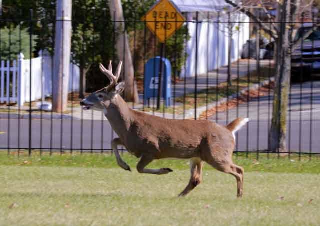 deer vasectomies