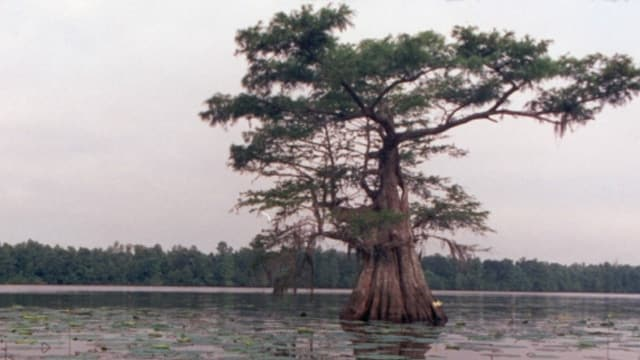 Since there are no images of the suspect or additional information, here's a picture of a cypress tree.