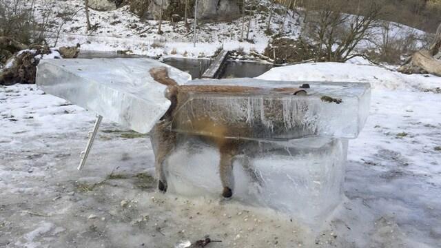 frozen fox