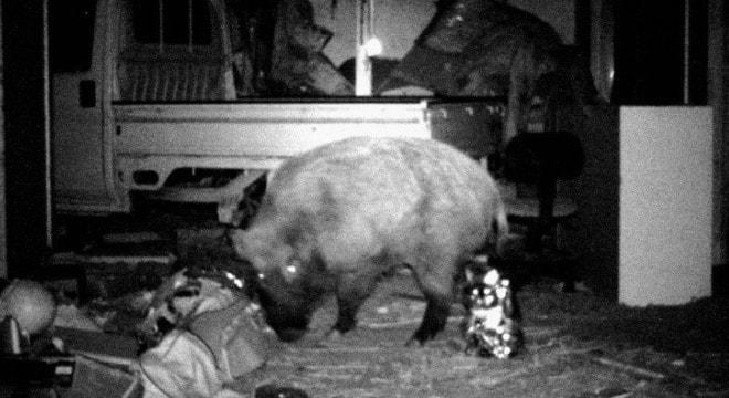 Wild, radioactive boars? Check! 0..6 guns per every 100 Japanese? Check! (Photo: Kyodo/AP via Outside online)