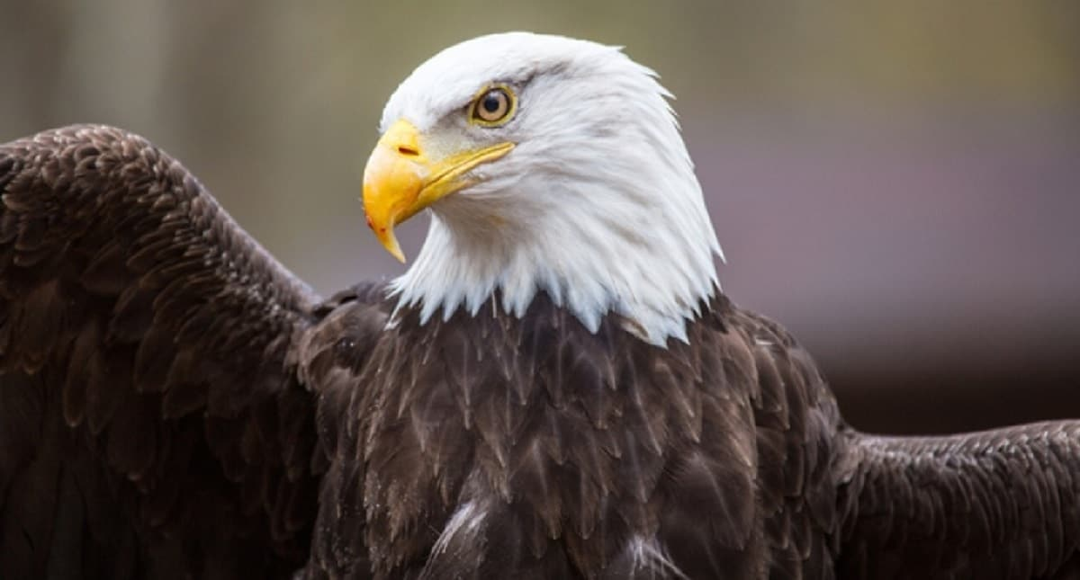 Are bald eagles dying from lead ammunition in Iowa? (Photo: Shutterstock)