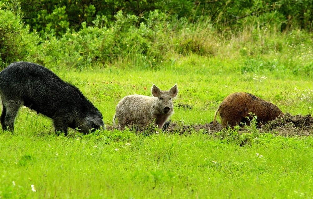 The USDA believes feral swine are now found in at least 39 States and cause approximately $1.5 billion in damages and control costs each year. (Photo: USDA)