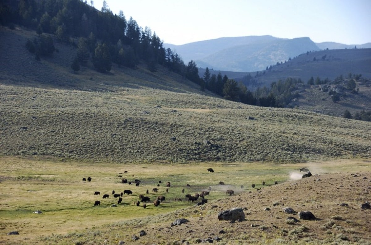 A herd of bison stomps through Yellowstone National Park's Lamar Valley in Montana (Photo: AP)