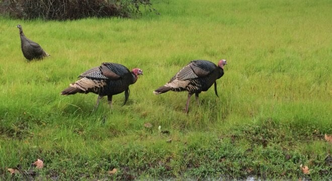 The upcoming 2017 spring wild turkey season will be the first hunting season with significant participation for which nonlead shot will be required statewide, notes CDFW (Photo: CDFW)