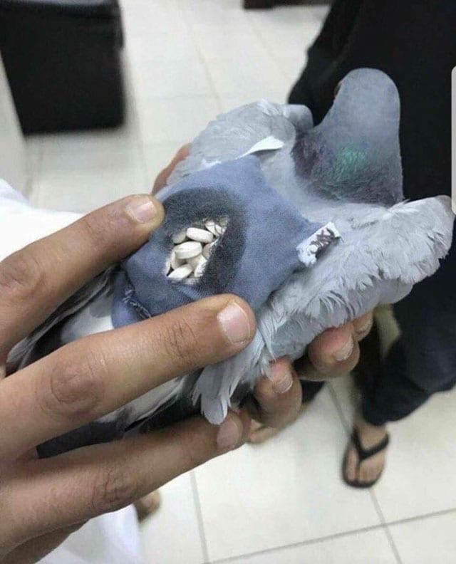 drug pigeon