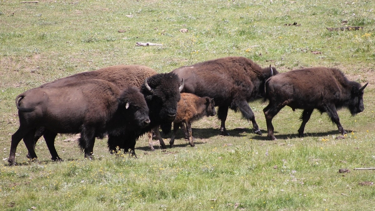 Bison grazing in a meadow on the north rim of the Grand Canyon. (Photo: NPS)