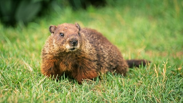 Wisconsin senators could approve a bill removing groundhogs, or woodchucks, from the state's protected species list. The animals are known to damage gardens, home foundations, sidewalks and roads. (Photo: National Geographic)