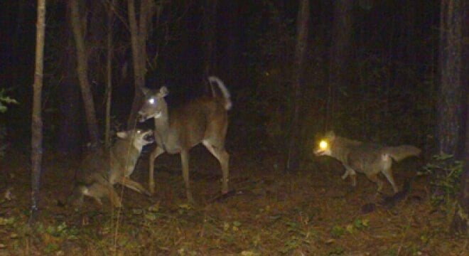 """""""Currently, scientific research suggests that removal of coyotes during the spring and summer is the most advantageous time to reduce the impact of predation on native wildlife,"""" said Georgia DNR Commissioner Mark Williams (Photo: DNR)"""