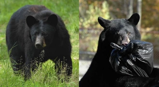 """A report released by New Jersey wildlife officals earlier this year stresses that hunting seasons """"alleviate damage and nuisance incidents caused by problem bears,"""" and warns that the current population could double in four years if hunting is taken off the table. (Photo: New Jersey Divsion of Fish & Wildlife)"""