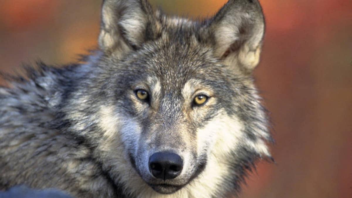 gray wolf hunting