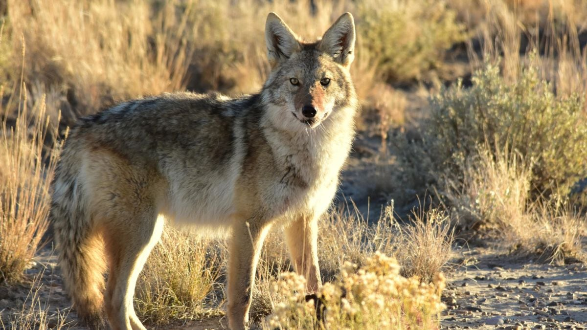 Boone & Crockett: Fair chase doesn't apply to coyotes