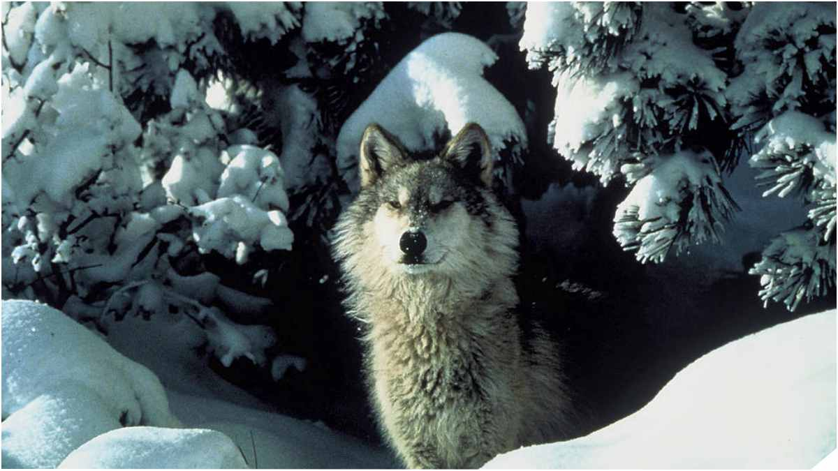 Feds Seek To Remove Protections For Gray Wolves
