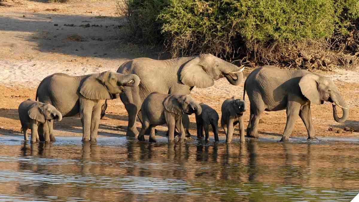 Elephant Botswana chobe riverside