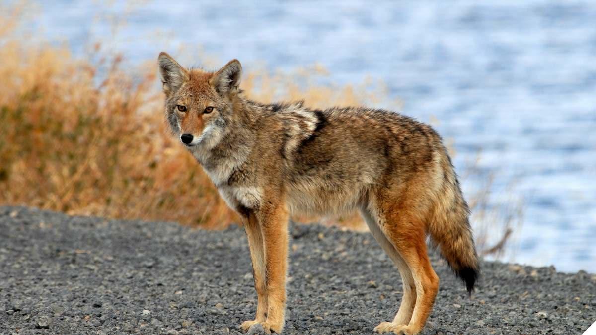 Arizona Moves to Ban Predator, Varmint Hunting Contests