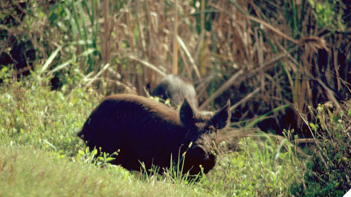 Texas Moves to Allow Feral Hog Hunting without License